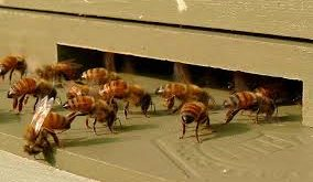 کندو زنبورعسل